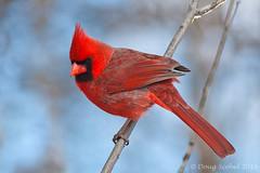 Northern Cardinal (Doug Scobel) Tags: cardinal kensington northern cardinaliscardinalis metropark