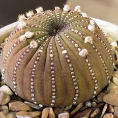 Frailea castanea (Reggie1) Tags: cactus march succulent 2014 frailea fraileacastanea occss