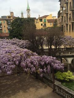 La splendida fioritura del glicine secolare di Palazzo Archinto, all'inizio di aprile (2014)