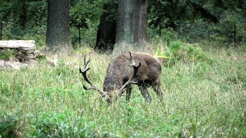 Kronhjort, Reed Deer Stag, Rothirsch (Cervus elaphus)