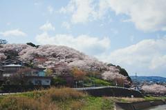 三室山 (igu3) Tags: japan nara cherrytree