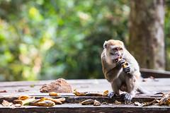 Crab-Eating Macaque 4601 (Ursula in Aus) Tags: animal sumatra indonesia unesco bukitlawang longtailedmacaque crabeatingmacaque macacafascicularis gunungleusernationalpark earthasia