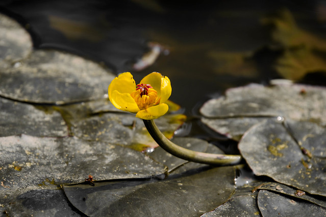 Yellow-Water-Lily-08135.jpg