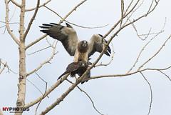 Swainson's Hawk (Buteo swainsoni) Mating (Neil Young Photography (nyphotos.ca)) Tags: canada calgary bird nikon hawk wildlife birding raptor alberta mating neilyoung birdofprey hawks swainsonshawk buteoswainsoni fotoman swainsons nyphotos d700 neilyoungphotography