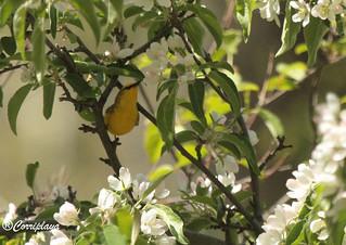 Reinita Aliazul Blue-winged Warbler (Vermivora cyanoptera)