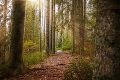 Forest (martinbrun) Tags: forest backround lover nature hike trek outdoors outdoor tree trees sunray sun rays ray sunny