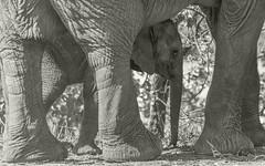 Nice Cool Shade (philnewton928) Tags: africanelephant elephant loxodontaafricana mammal animal animalplanet wild wildlife nature natural letaba kruger krugernationalpark africa southafrica outdoor outdoors safari nikon nikond7200 d7200 blackandwhite blackwhite bw monochrome