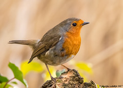 robins spot (blackfox wildlife and nature imaging) Tags: canon 80d sigma150600mmossport robin wales deeestuary