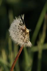 Half dome (Steenjep) Tags: flower macro closeup blomst mælkebøtte seed frø morgen morning lys light dug dew knudmosen dandelion taraxacum