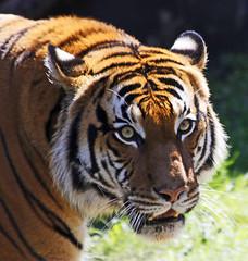 Tiger (Ellsasha) Tags: tigers animals zoo houstonzoo captive felines cats bigcats