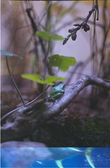 Oceanário de Lisboa, november 2014 (Teófilo de Sales) Tags: nikkormatel nikkormat nikon nikkor analog analogic film fuji fujifilm fujixtra400 50mm 35mm lisboa oceanario oceanariodelisboa oceanarium frog plants aquarium