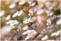 margherite (Photo Luc@) Tags: canon 6d fiori focus art macro allaperto nature manual vintage color flower flare photo macrophotographie bokeh ambiance helis f15 85mm