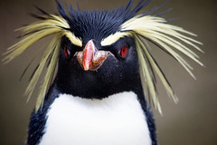 Rockhopper Penguin (louise.helen) Tags: edinburghzoo rzss