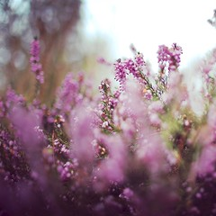 (coral staley-hall) Tags: flower heather purple spring canon 6d 35mm 35l 14l fullframe bokeh blur dof