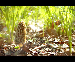 Morchella - Look Below Your Feet (SannePhotos (S. Douthitt)) Tags: wild fern nature mushroom forest woods natural gourmet fungi fungus edible morel morchella esculenta sarahdouthitt nikond5000 sannephotos