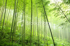 Bamboo forest (MPBHAIBO) Tags: china mist plant green nature wet rain fog forest outdoors leaf asia guilin bamboo bambooleaf bambooshoot bamboogrove colorimage environmentalconservation beautyinnature nonurbanscene