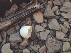 Walking on Broken Eggshells (@clp) Tags: wood white bird abandoned nature beautiful grey rocks pretty natural egg shell minimal simple eggshell neutral