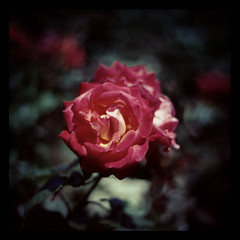 Rose Garden (niine schon (41style)) Tags: red flower film rose 35mm square  aria   2013