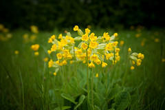 Cowslips (Nick_White_Photography) Tags: flower green yellow spring petal verge cowslip nickwhitephotographycom