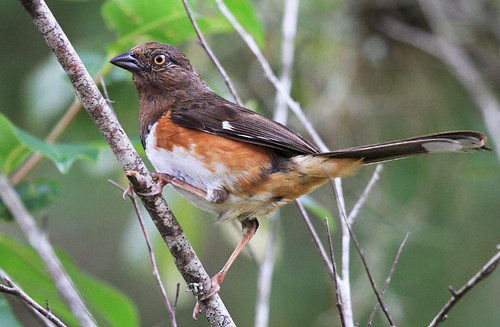 This is our little newbie Towhee.