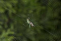 Spider eating series 17 (Richard Ricciardi) Tags: spider eating web spinne araa  araigne ragno timeseries     gagamba    nhn  spidertimeseries