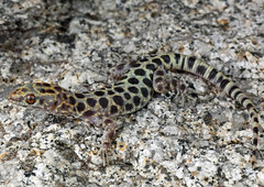 Granite Night Lizard (Xantusia henshawi) (David A Jahn) Tags: mountains night san lizard granite jacinto xantusia henshawi