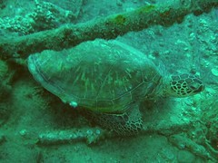 #1006 Hawaiian green sea turtle () (Nemo's great uncle) Tags: hawaii underwater oahu turtle scuba sealife  oahu  honu honolulu  cheloniamydas  chelonia mydas  kewalobasin hawaiiangreenseaturtle    tortueverte  suppenschildkrote