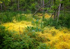 Creeping yellow (theqspeaks) Tags: park plants green yellow arlington island virginia dc washington vines memorial fuji teddy july roosevelt national va swamp fujifilm bushes theodore x10 2013 welovedc