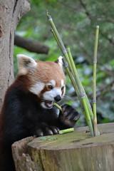 Red Panda, Paignton Zoo (Simon Crowther Photography) Tags: red england cute animal zoo google nikon panda flickr eating bamboo devon redpanda feed endangered habitat rare paignton enclosure torbay southdevon