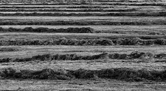 Frisch gemht (Schwubb) Tags: bw nature landscape nikon natur wiese row cutting sw gras grassland landschaft reihe haufen gemht grasflche d7000 frischgemht