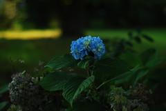 DSC_4685 (portraitsandstuff) Tags: blue sunlight flower love smile leaves daylight bush weed nikon exposure bright lol tag like sunny pot laugh noedit haha bushes hemp nikond80