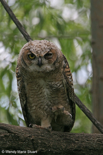Photo - Best Foot Forward - young great horned owl shows off its talons at Sawhill Ponds.