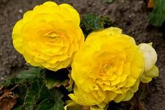 IMG_7303 (Lightcatcher66) Tags: florafauna makros blütenundpflanzen lightcatcher66