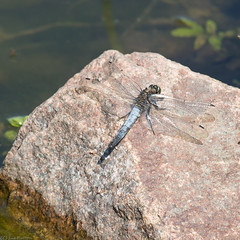 Keeled Skimmer, Orthetrum coerulescens (Sue_Hutton) Tags: summer water reeds dragonfly insects resting loughborough syenite waterbody keeledskimmer orthetrumcoerulescens august2013 nanpantanreservoir t189522013