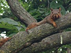 P1090306-copy (lbj.birds) Tags: nature squirrel wildlife kansas flinthills redsquirrel easternredsquirrel