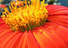 Shadows, detail (serialplantfetishist) Tags: california berkeley august mexican sunflower homegarden tithonia rotundifolia 2013 serialplantfetishist
