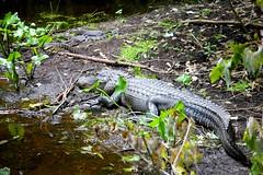 Momma and Young (NC Mountain Man) Tags: statepark baby mom nikon babies florida mommy d70s alligator gators swamp highlandshammock ncmountainman phixe