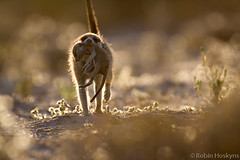 Babysitter Carrying Pup ([[BIOSPHERE]]) Tags: mouth southafrica meerkat pup babysitting kalahari carrying