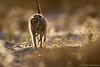 Babysitter Carrying Pup ([[BIOSPHERE]]) Tags: mouth southafrica meerkat pup babysitting kalahari carrying