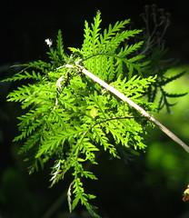 boerenwormkruid blad (adstream) Tags: leaves tansy boerenwormkruid