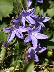Blue Waterfall Bellflower (Campanula) (Dufferin Garden Centre) Tags: displaygarden