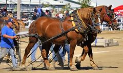 Belgian draft horse pull, Brampton Fall Fair, Caledon, Ontario. (edk7) Tags: ontario canada rural countryside farm country livestock belgiandrafthorse d300 caledon 2013 horsepull bramptonfallfair edk7