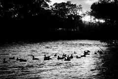 Ducks B&W (Connor E Holmes) Tags: school autumn friends boy sunset urban dog white black colour tree texture water girl leaves animals silhouette wall youth river fun photography photo girlfriend long exposure pattern seasons hound culture line environment form dslr shape creature higher tone