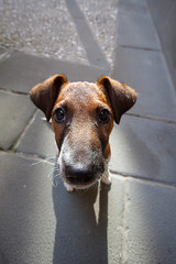 Penny! (FiPremo) Tags: dog cane terrier fox penny cucciolo foxterier