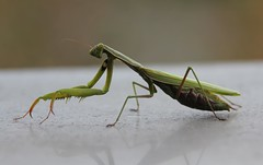 Another Fine Fellow (Vecchia Casa Umbria) Tags: november autumn italy insect italia novembre autunno pest umbria prayingmantis insetto wetweather mantidereligiosa vecchiacasa gardeninumbria giardinoinumbria