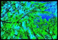 Le saule pleureur (Salix babylonica) (Boursier Art Photography) Tags: beijing le vieux salix saule pleureur babylonica