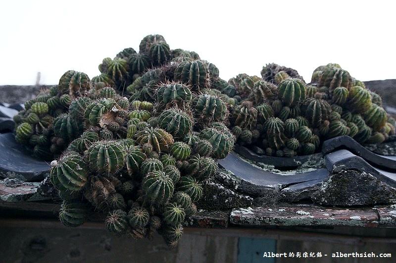 雲林口湖:老舊屋頂的仙人掌