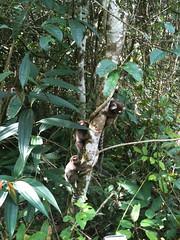 Ilha Grande (Johnny Photofucker) Tags: nature animal fauna monkey natureza natura ilhagrande macaco mico animais bicho animale iphone sagui scimmia