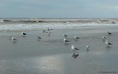 Zandvoort (ditmaliepaard) Tags: zee zandvoort zeemeeuwen nieuwjaarsdag