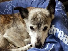 13th January snoozy Susie (Cardedfolderol) Tags: dog pet animal mammal mongrel whippetcross